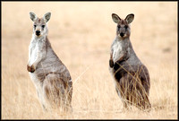 Wallabies northern NSW