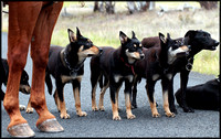 Drovers dog team